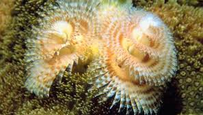 5 Facts About The Whimsical Christmas Tree Worms U2013 SEA Aquarium Christmas Tree Worm Facts