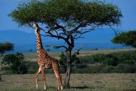 Resultado de imagen para imagenes de jirafas