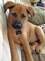 german shepherd mix puppies.  German Lola The German Shepherd Mix Pictures 915645 Looks Like Jackson And  Chelseau0027s New Dog Sargecept Heu0027s Black To Puppies