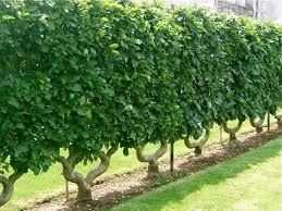 63 Best Espalier Images On Pinterest  Garden Ideas Espalier Dwarf Fruit Trees Virginia