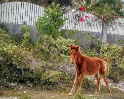 wild colt, grand turks by Wendi Brewer. Photo stock - Snapwire