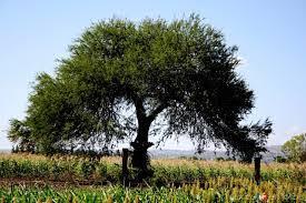 Resultado de imagen para árbol ébano