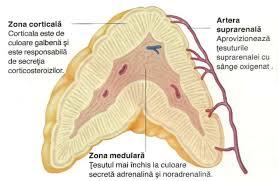 Glandă suprarenală - wikiwand