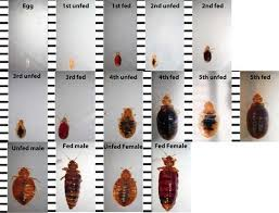 Bed Bug Identification Chart Want To Know If You Have Seen