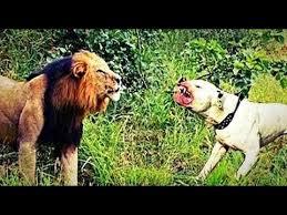 pitbull dog vs lion. Wonderful Pitbull Dog Vs Lions Fight  Watch Attack Lion With In Pitbull A
