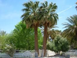 fan palm trees. washingtonia falifera (california palm tree) fan trees r