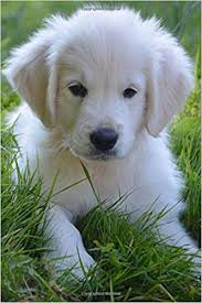 cute golden retriever puppies for sale. Beautiful For Buy Super Cute Golden Retriever Puppy Dog Lined Journal Book Online At Low  Prices In India  Reviews  In Puppies For Sale I