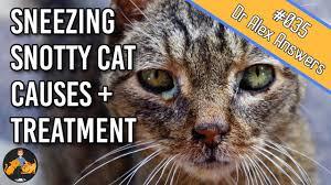cat flu cat health vet advice