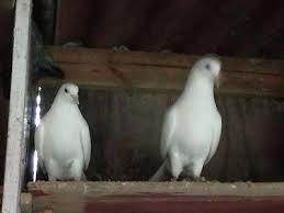 Billedresultat for hvide duer som flyver