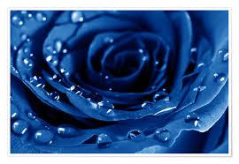 Blaue Rosen Mit Wassertropfen Poster Online Bestellen Posterloungeat