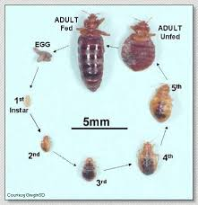 life cycle of the bed bug cimex lectularius