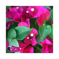 bougainvillea are popular ornamental plants in india and most areas with warm climates and grown both as shrub and vine a native to the coast of brazil