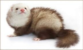 Ferret Color Chart Ultimate List Of All Ferret Breeds Coops Cages Coops And