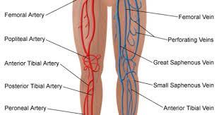 Leg Vein Chart Leg Vein Map Arterial And Venous Circulation Of The Legs