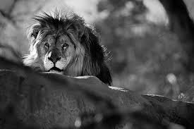 lion roaring black and white. Delighful Roaring Black And White Lion Roar With Lion Roaring Black And White