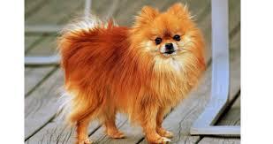 Pomeranian Puppy Feeding Chart Feeding Tips To Pomeranian Pets World