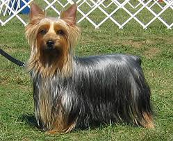 The Australian Silky Terrier. All you need to know/ By Raneen Mallak