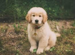 golden retriever newborn puppies. Fine Retriever Newborn Puppy Golden Retriever Puppy Brier Puppies  Puppy In Puppies E