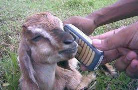 funny goat pictures 30 10