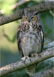 great horned owl house plans inspirational 162 best owl s images on of great horned