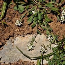 lepidium-hirtum-subsp-oxyotum