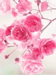 Pink Roses Flowers HD desktop wallpaper ...
