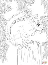 American Red Squirrel Coloring Page Free Printable Coloring Pages