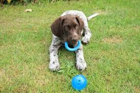 do german shorthaired pointers cost