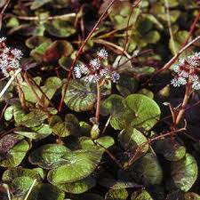 Petasites fragrans | Online Atlas of the British and Irish Flora
