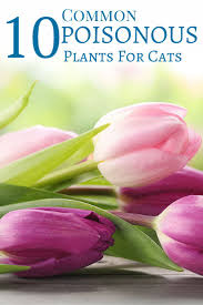 Did you know tulips are very poisonous to cats? Find out which plants are  dangerous