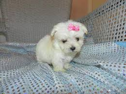 white teacup yorkie puppies for sale. Simple Puppies Yorkies For Sale Teacup Yorkies Yorkie Puppies  Tiny Puppies To White Teacup Yorkie Puppies For Sale