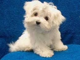 Image result for توله سگ پشمالو
