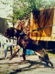 big dog diablo. el diablo negro big dog diablo