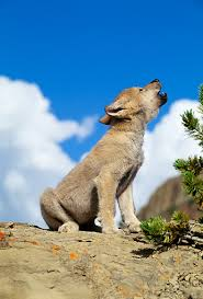 gray wolf pups howling. Simple Pups KimballStock_WOV 09 RW0007 01_preview And Gray Wolf Pups Howling O