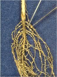 Soybean Cyst Nematode Ut Crops Pest Guides