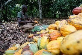 مزارعو الكاكاو في ساحل العاج فقراء بذهبهم البني  