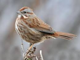 Song Sparrow Identification All About Birds Cornell Lab Of
