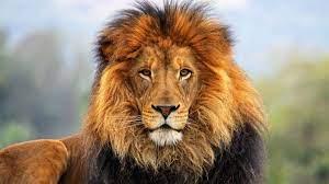 Lion pictures, Lion hd wallpaper ...