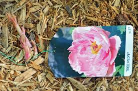 2016 20 tree peonies on from hirt s gardens