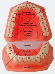Tooth Position Chart Tooth Numbers And Illustrations