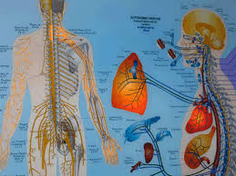 Meric Chart Meric Chart How Spinal Segments Relate To The Body And The