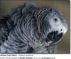 African Grey Parrots The Smartest Parrots Of All Beauty
