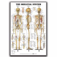 Us 5 32 Skeletal System Anatomical Chart Skeleton Medical Art Silk Poster 12x18 24x36in Home Decor L W Gift Wall Deco Room Decoration In Painting