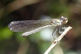 dragonfly overnight changkran roy cambodia bird guide ociation