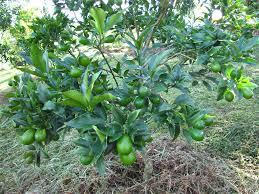 100 Best Kumquat Images On Pinterest  Citrus Trees Kumquat Tree Kumquat Tree Not Bearing Fruit