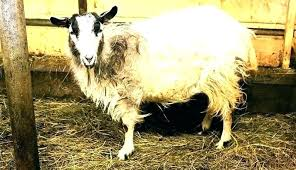 Goat Lice Goat Lice Treatment Anemia In Goats Medications Ivermectin