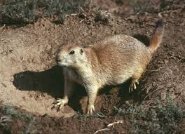 Rodents Lower Classifications Rodent Mammal Britannica