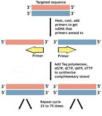 Pcr Amplifying Dna Ask A Biologist