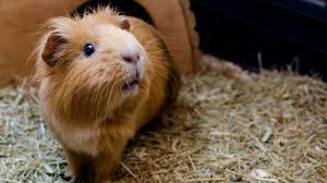 do guinea pigs need bedding in their