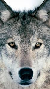 wolf iphone 5 wallpaper. Simple Wolf Wolf Iphone Wallpaper To Wolf Iphone 5 Wallpaper W